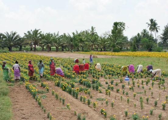 Marigold harvesting for temple garlands
