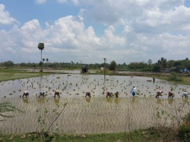 Working in the paddy fields
