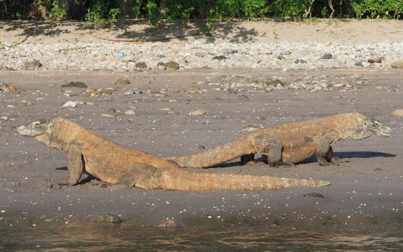 Komodo Dragon, Rinci Island
