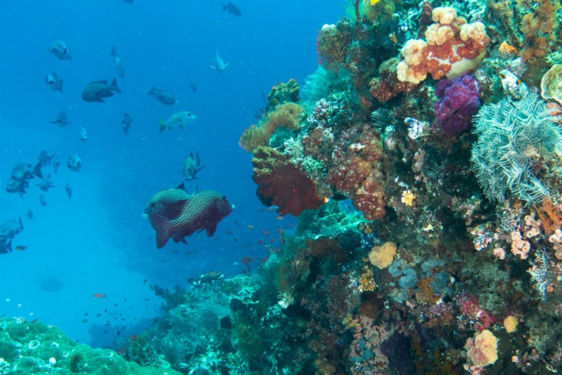 Coral with many-spotted sweetlips, Shotgun