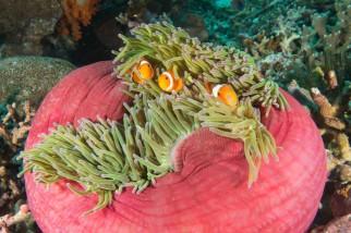 This damn clownfish