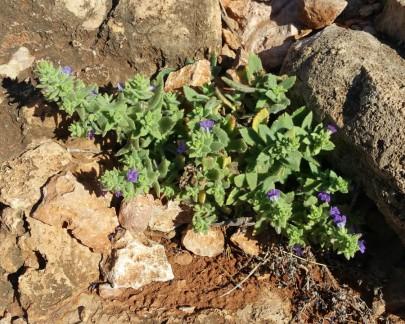 Wild flowers - rosemary