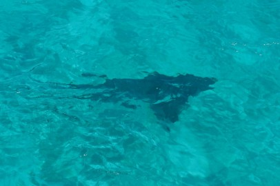 Tiger shark from the boat