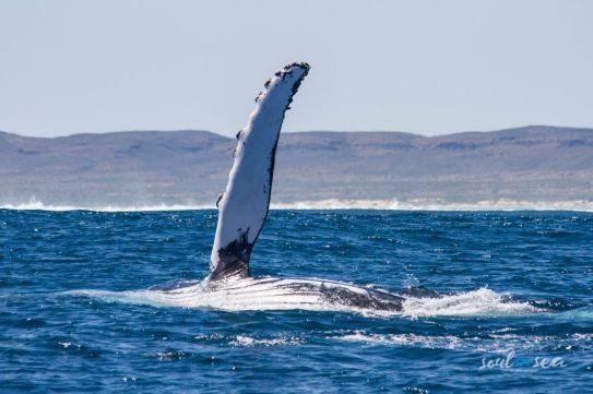 Dorsal fin while breaching