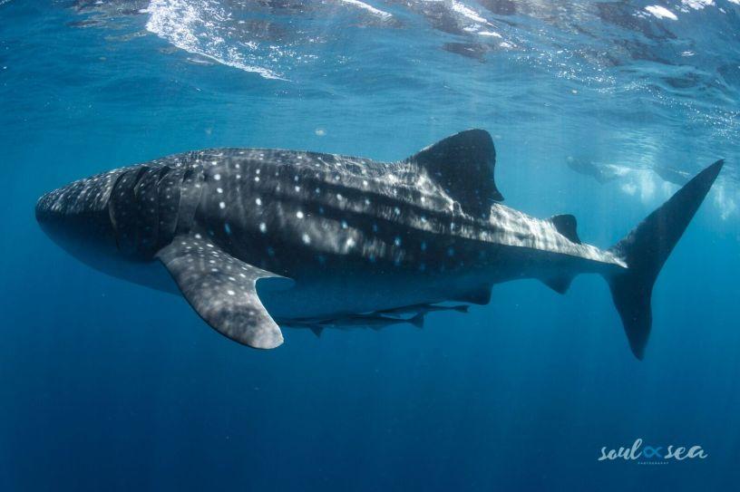 Our whale shark