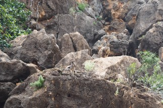 Wallabies in the Pilgamunna Gorge