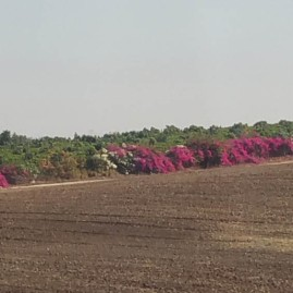 Pretty field fringed w bougainvillea