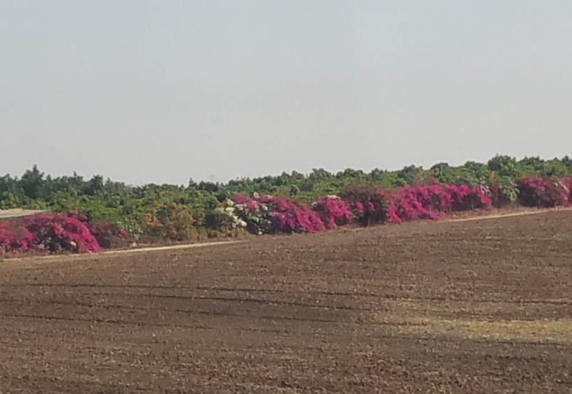 Pretty field fringed w bougainvillea