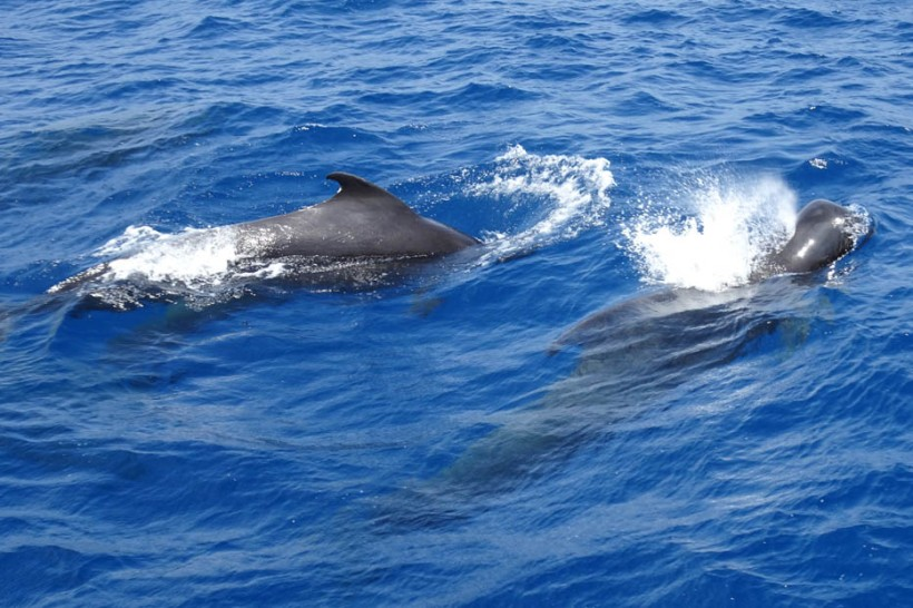 Pilot Whales, S Male Atoll