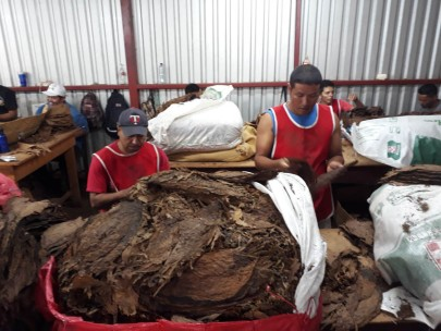 Sorting the tobacco as it comes in from the farms