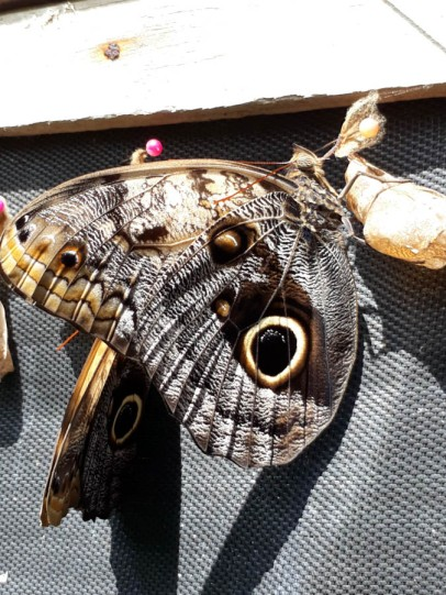 Moth emerging from its pupa
