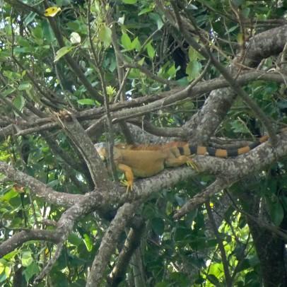 Giant male Iguana