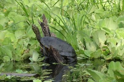 Turtle sunning himself