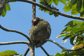 Three-toed sloth - resting of course