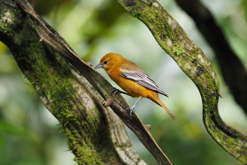 Flame-coloured Tanager?