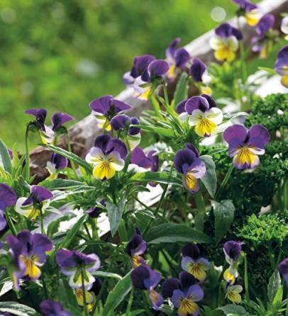 Viola heartsease