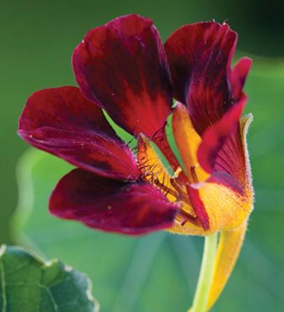 I bought this nasturtium - black velvet, wow!