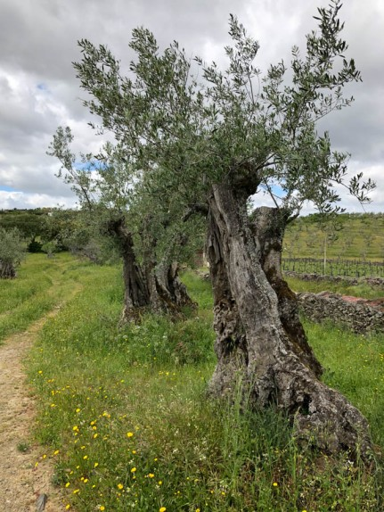 600 year-old olives