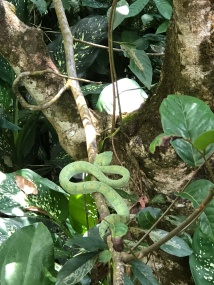 Pit viper at Rimba Eco lodge, been there a month. Deadly poisonous