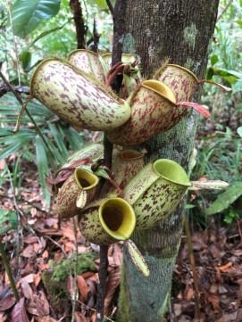 Wild pitcher plants