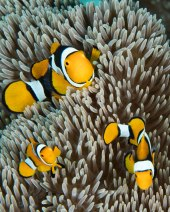 Real anemone fish - only found in this area