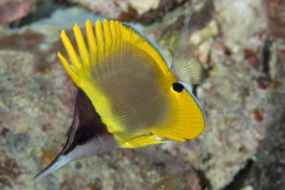 Long-nose butterfly fish, endemic