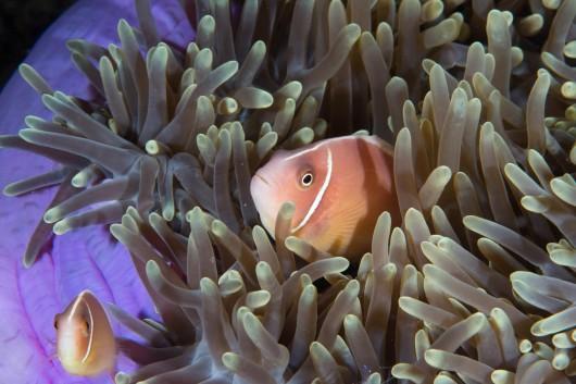 Fake anemone fish!