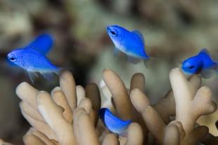 Price's damsel fish