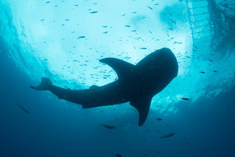 Whale sharks, Kwatisore Bay