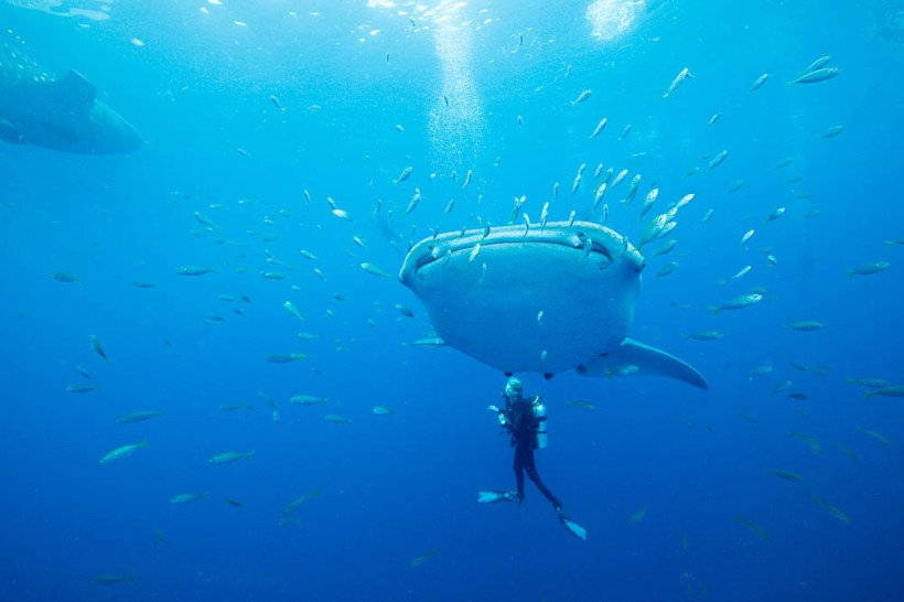 Whale_Sharks (1 of 34