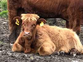 Highland calf