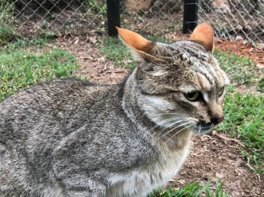 close up of the wild cat, showing pink ears