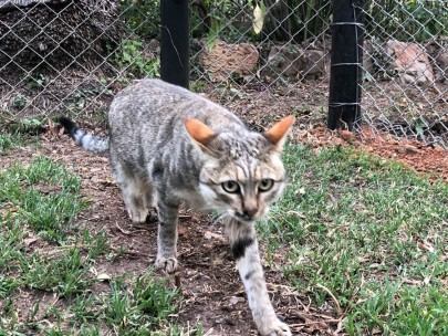 African wild cat - almost tame, gave me a nuzzle but inclined to nip