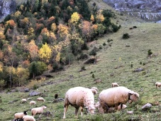 Sheep with glorious autumn colours