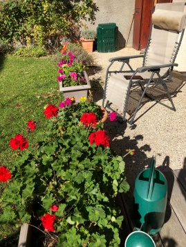 My pelargoniums still in full bloom