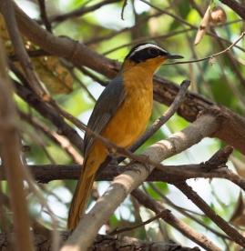 Heuglin's Robin (bird no. 100)