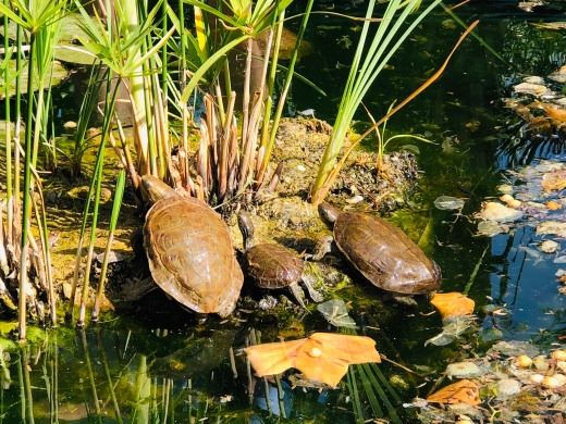 Turtles and frogs in the pond
