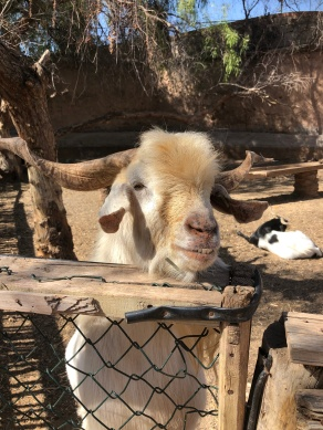 A billy goat in the garden