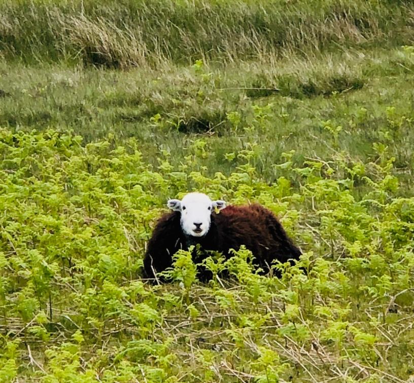 Herdwick sheep - nice white face!