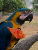 One of the blue Macaws