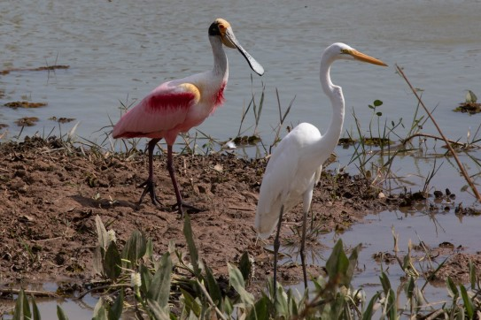 Spoonbill stork and egret