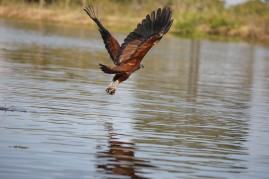 Black collared hawk fishing