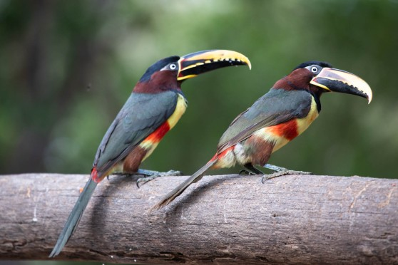 The rare Aracari toucan