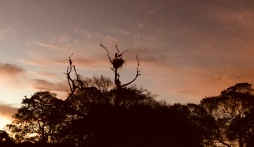 Jabiru stork nest against the sunset