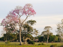 The fabulous pink puiva trees are just coming in to bloom