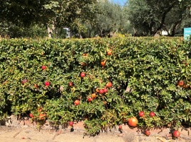 Never seen a pomegranate hedge before - Botanical gardens