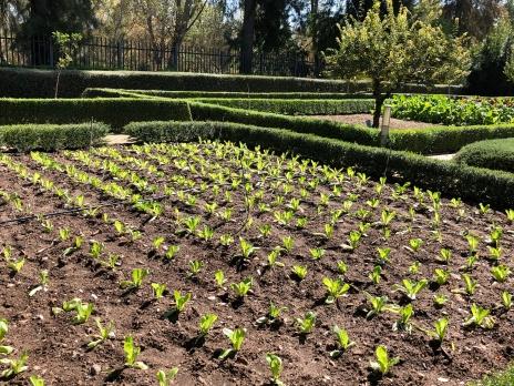 Even more lettuces!
