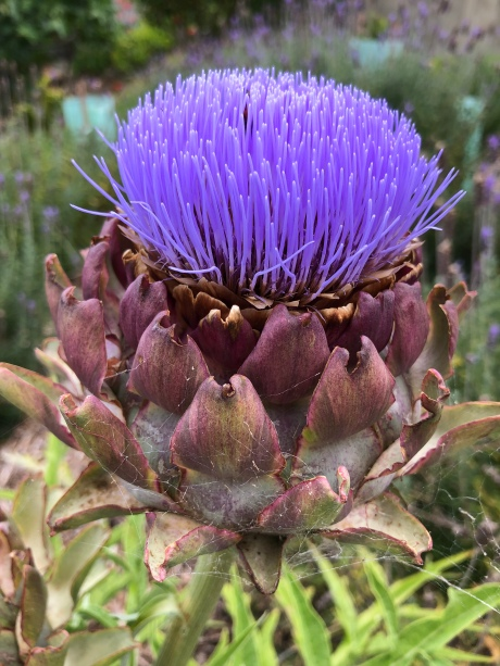 Thistle or artichoke?
