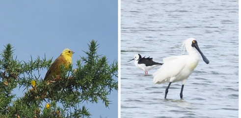 Yellowhammer and Spoonbill
