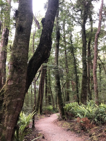The cool beech and fern forest on Kepler track